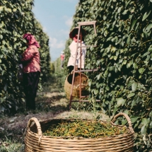 processing-pepper_starling-farm_organic-plantation-kampot-1