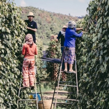 processing-pepper_starling-farm_organic-plantation-kampot-2