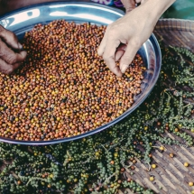 processing-pepper_starling-farm_organic-plantation-kampot-8