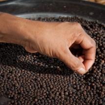 sorting-pepper_starling-farm_kampot_organic-5
